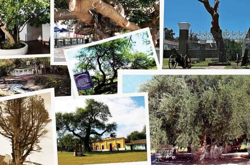 Los árboles también forman parte de la historia nacional